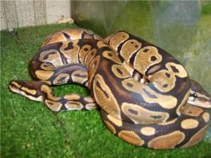 Королівський пітон - найдовша змія на землі
