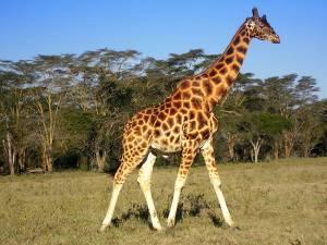 Найвища тварина