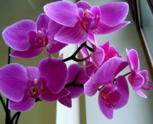 Orchidaceae_300x244