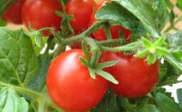 chto-uchest-pri-vyrashhivanii-tomatov